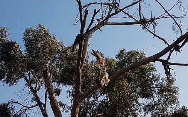 A falcon found dead in a tree, tied to an incendiary device, on July 16, 2018, near the Gaza border. (Nature and Parks Authority)