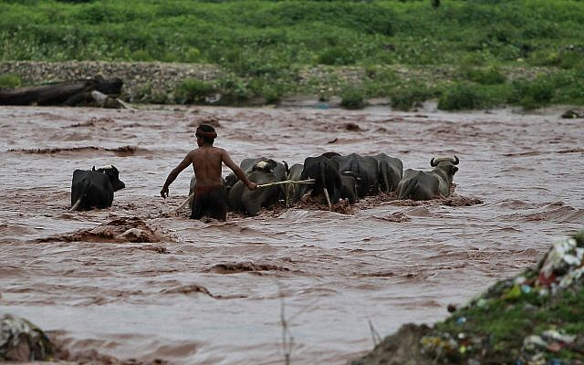 An Indian man grazing buffalos tries to cross River Tawi that was flooded following monsoon rains in Jammu, India, August.13, 2018. (AP Photo/Channi Anand)
