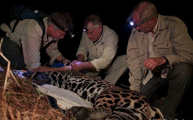 Alan Rabinowitz (c) colalring a jaguar in Brazil. (Steve Winter/Panthera)