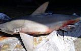 A dead shark on a beach in Nahariya. (Manor Guri/Nature and Parks Authority)