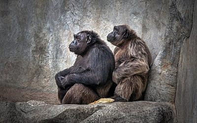 Chimpanzee family. (iStock by Getty Images/ apple2499)