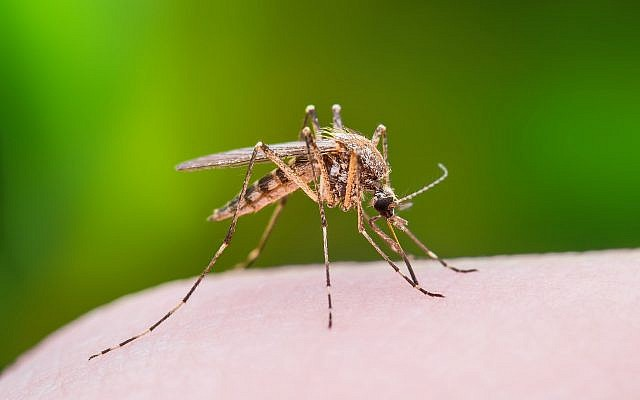 Illustrative image of a mosquito biting through skin. (iStock by Getty Images/nechaev-kon)