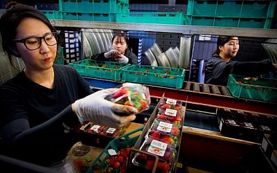 Braetop Berries workers Hoyoun Lee (L), Sorim Kweon and Hyeyoung Seo (R) process strawberries in the Glass House Mountains in Queensland on September 20, 2018. (AFP PHOTO / Patrick HAMILTON)