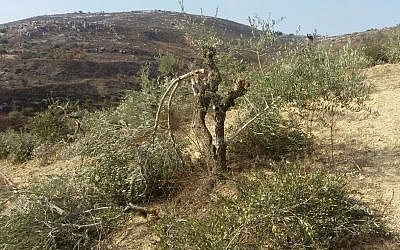 A destroyed olive tree near the northern West Bank village of Burin (Courtesy Yesh Din)