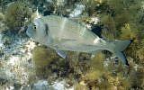 "The gilthead seabream fish, known as ""denise"" in Hebrew. (Courtesy Haifa University)"