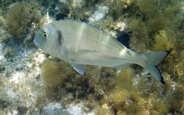"The gilthead seabream fish, known as ""denise"" in Hebrew. (Courtesy Haifa University)"