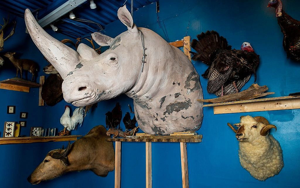 A white rhino bust at Torah Animal World museum. (Micah B. Rubin/ Times of Israel)