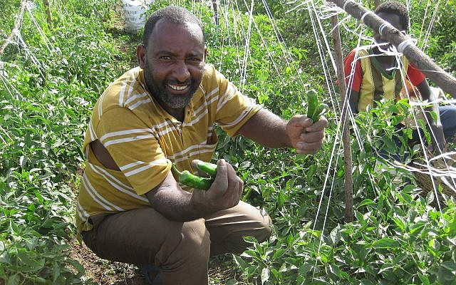 A local farmer harvests hot peppers on a Tikkun Olam Ventures pilot site in Butajira, southern Ethiopia, in June 2018. (Courtesy JDC)