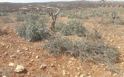 Olive trees found maimed in the Palestinian village of Al-Mughayyir, on October 14, 2018. (Yesh Din)