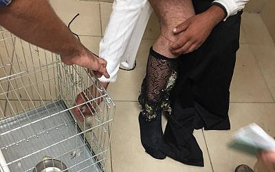 Man caught smuggling 40 goldfinches in his fishnet stockings at the Allenby Border Crossing, October 15, 2018 (Civil Administration)