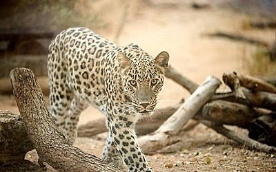 The Ramat Gan Safari's newest Persian leopard seen on October 11, 2018. (Ramat Gan Safari, courtesy)