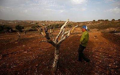 Palestinian farmer Mahmoud Abu Shinar stands next to destroyed olive trees, near the West Bank village of Turmus Aya, north of Ramallah, on October 22, 2018. (Abbas Momani/AFP)