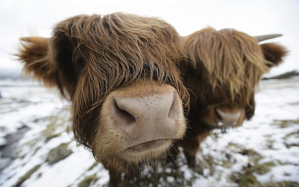 Highland cows are photographed as they graze in the Kilpatrick Hills near Glasgow, Scotland, March 18, 2018, as the cold snap keeps a grip of the United Kingdom. (John Linton/PA via AP)