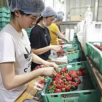 In this November 5, 2018, photo, workers sort and pack strawberries at the Chambers Flat Strawberry Farm in Chambers Flat, Queensland, Australia. (Tim Marsden/AAP Image via AP)