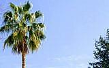 A healthy palm tree in Raanana, Israel (PlantArcBio)