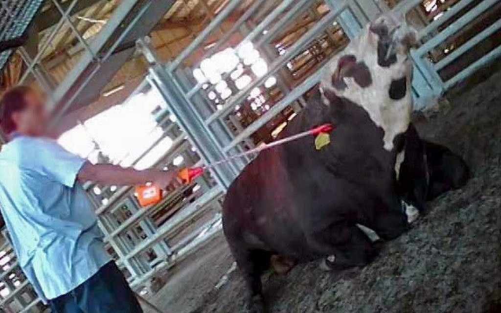 Slaughterhouse managers convicted for urging beating, electrocution of calves