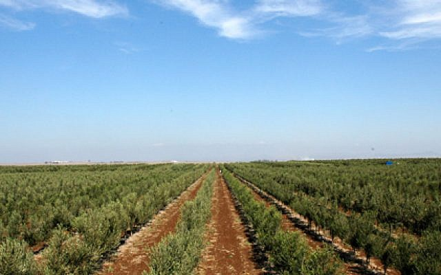 Rows of olive trees planted at Eretz Gshur in order to optimize the mechanical picking method (Courtesy Eretz Gshur)