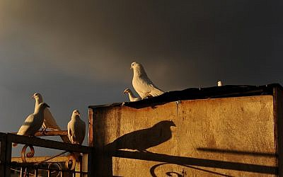White doves rest on a rooftop in Jerusalem's Old City, at sunset, on December 24, 2018. (Mendy Hechtman/Flash90)