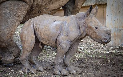 Newborn rhino cub seen at the Ramat Gan Safari, January 2019. (Sagi Tabachnick/Ramat Gan Safari)