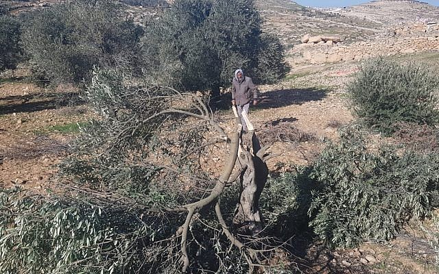 An olive tree chopped down at the site of an apparent hate crime in the village of Tuwani in the southern West Bank on January 8, 2019. (B'Tselem)