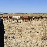 Illustration using photo of Prime Minister Benjamin Netanyahu during a visit in the Golan Heights, on June 6, 2017, with pixellated cows. (Photo by Haim Zach/GPO)
