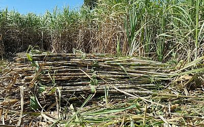 Illustrative image of a sugarcane field (vichitlamool; iStock by Getty Images)