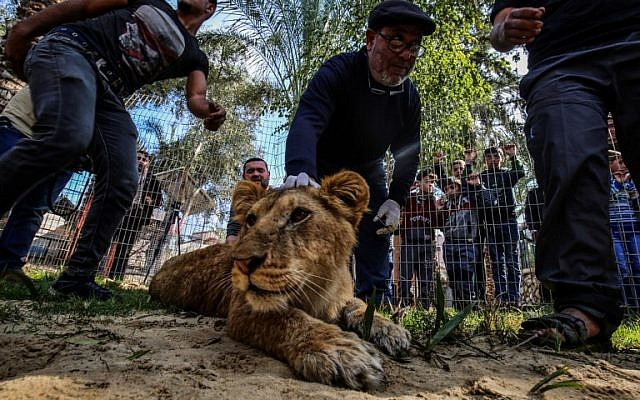 """Palestinian veterinarian Fayyaz al-Haddad holds down the head of the lioness """"Falestine"""" after being declawed, at the Rafah Zoo in the southern Gaza Strip on February 12, 2019. (Photo by SAID KHATIB / AFP)"""