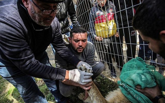 """Palestinian veterinarian Fayyaz al-Haddad holds the paw of the lioness """"Falestine"""" while inspecting her claws, at the Rafah Zoo in the southern Gaza Strip on February 12, 2019. (Photo by SAID KHATIB / AFP)"""