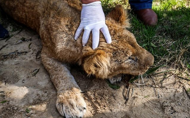 """A Palestinian veterinarian holds down the head of the lioness """"Falestine"""" after being declawed, at the Rafah Zoo in the southern Gaza Strip on February 12, 2019. (Photo by SAID KHATIB / AFP)"""