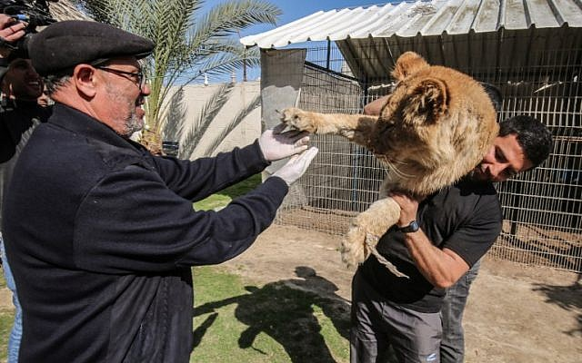 """Palestinian veterinarian Fayyaz al-Haddad reaches for the paw of the lioness """"Falestine"""" as she is held by another man, at the Rafah Zoo in the southern Gaza Strip on February 12, 2019. (Photo by SAID KHATIB / AFP)"""
