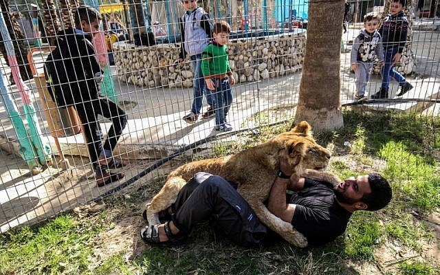 """Palestinian zoo worker Mohamed Jumaa plays with the declawed lioness """"Falestine"""" inside a cage at the Rafah Zoo in the southern Gaza Strip on February 12, 2019. (Photo by SAID KHATIB / AFP)"""