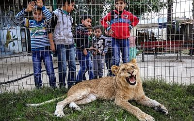 "Palestinian children look through the bars of a cage at the declawed lioness ""Falestine"" at the Rafah Zoo in the southern Gaza Strip on February 12, 2019. (Photo by SAID KHATIB / AFP)"