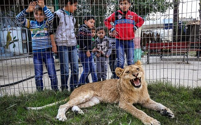 4a8c47c709a Palestinian children look through the bars of a cage at the declawed  lioness