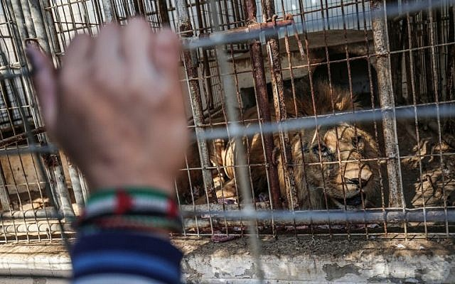 Palestinian children look through the bars of a cage at a lion at the Rafah Zoo in the southern Gaza Strip on February 12, 2019. (Photo by SAID KHATIB / AFP)