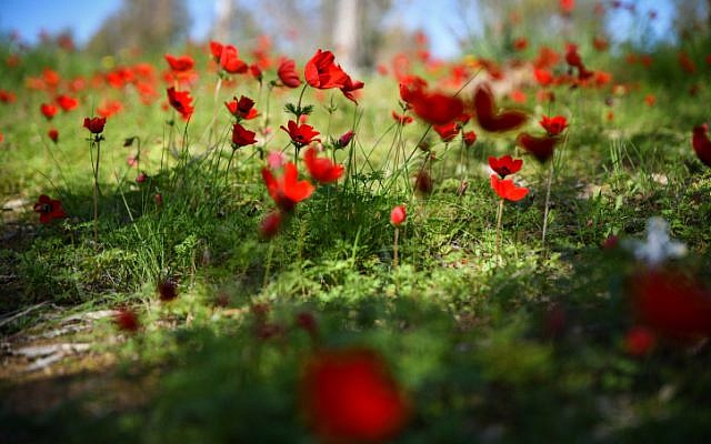 A field of anemone flowers blossoming in Shokeda Forest, southern Israel, January 30, 2019 (Dudi Modan/Flash90)