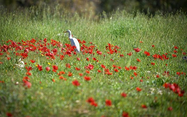 A field of anemone flowers blossoming in Shokeda Forest, in the south of Israel on January 30, 2019. (Dudi Modan/Flash90)