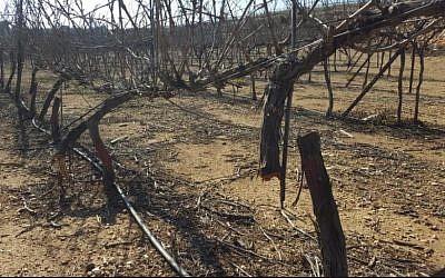 Grapevines chopped down in the Kfar Etzion settleement on February 17, 2018. (Yaron Rosental)