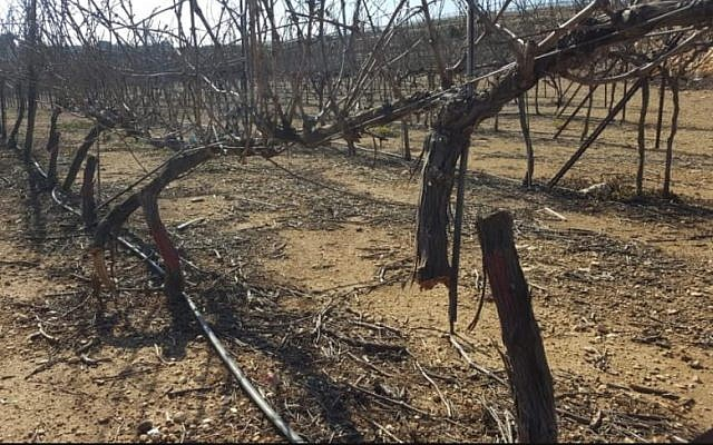 Grapevines chopped down in the Kfar Etzion settleement on February 17, 2018. (Yaron Rosental)