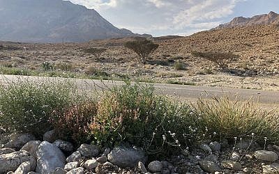 Wildflowers are strutting their stuff along the Dead Sea high way by Ein Gedi, Feburary 22, 2019. (Sue Surkes/Times of Israel)