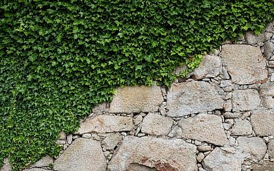 Ivy climbing up an old stone wall (AlexZaitsev; iStock by Getty Images)