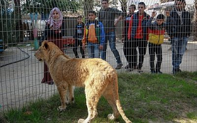 Palestinians look at a lion at the Rafah Zoo in the southern Gaza Strip, on February 12, 2019. (Abed Rahim Khatib/Flash90)