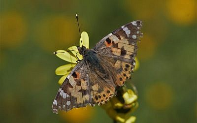 A Vanessa cardui butterfly, one of some 10 million to cross into Israel on March 21, 2019 ( Yaniv Levi/ Israel Nature and Parks Authority )