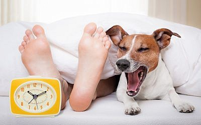 A yawning dog in bed with feet and an alarm clock. (Damedeeso, iStock by Getty Images)