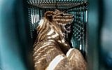A sedated lioness is pictured in a cage at a zoo in Rafah in the southern Gaza Strip, during the evacuation by members of the international animal welfare charity 'Four Paws' of animals from the Palestinian enclave to relocate to sanctuaries in Jordan, on April 7, 2019. (SAID KHATIB / AFP)