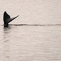A North Atlantic right whale swims in the waters of Cape Cod Bay April 14, 2019 near Provincetown, Massachusetts. (Don Emmert / AFP)