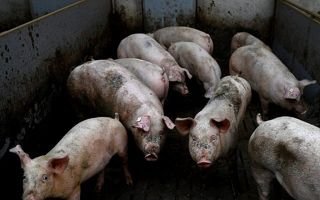 This file photo taken on February 13, 2019 shows pigs at a farm in Goudelin, western France. (Damien Meyer/AFP)