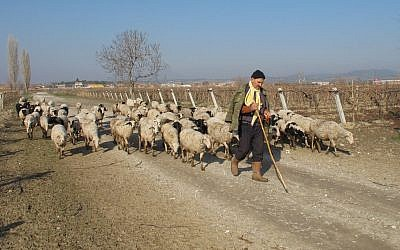A shepherd herds sheep near the village of Ishakcelebi near the western city of Manisa, Turkey, December 28, 2011. (AP Photo/Selcan Hacaoglu)