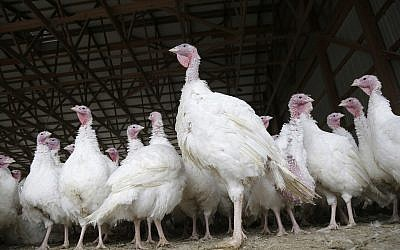 Illustrative: Turkeys at a farm in New Jersey in November 2018 (AP Photo/Seth Wenig)