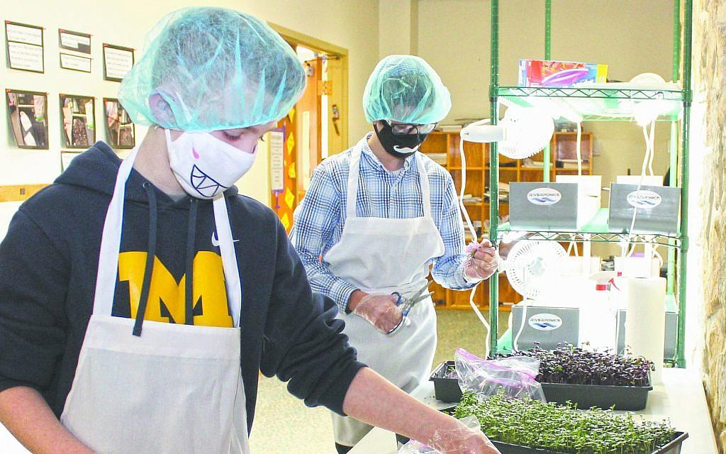 Avi Gilbert, left, and Menachem Simon harvest microgreen crops at Hillel Academy Jewish day school of Dayton, Ohio, March 7, 2019. (Marshall Weiss/Dayton Jewish Observer)