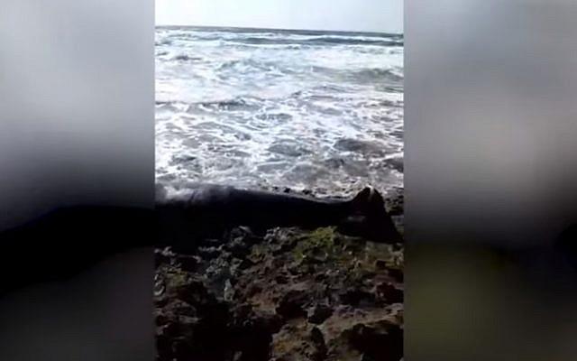 A beached whale on Haifa's Dor Beach on April 22, 2019 (YouTube screenshot)